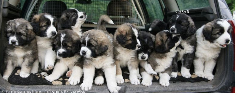 Kaukasen Hunde Babys